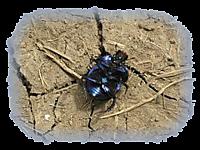 Beetle180_t