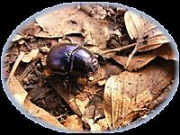 Beetle_t