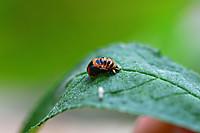 Ladybirdlarvae401825_960_720
